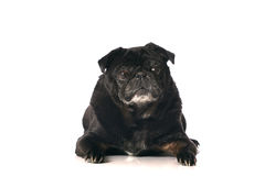 Cão preto do Pug Fotografia de Stock Royalty Free