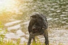 Cão preto do Retriever de Labrador Imagens de Stock Royalty Free