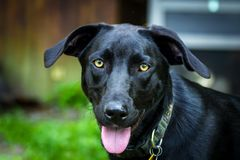 Cão preto do Retriever de Labrador imagens de stock