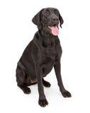 Cão preto do Retriever de Labrador Imagem de Stock