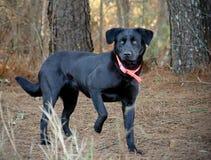 Cão preto do Retriever de Labrador foto de stock