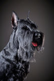 Cão preto do Schnauzer gigante Fotos de Stock