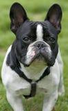 Cão preto e branco Foto de Stock Royalty Free
