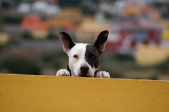Cão preto e branco Imagem de Stock Royalty Free