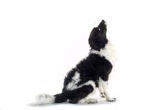 Cão preto e branco fotografia de stock royalty free