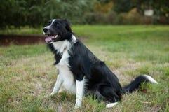 Cão preto e branco bonito que senta-se no campo com a língua que pendura para fora durante o dia de verão Imagens de Stock