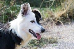 Cão preto e branco curioso Fotos de Stock
