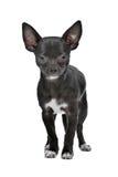 Cão preto e branco da chihuahua imagens de stock royalty free