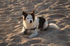 Cão preto e branco da collie da praia fistral de Newquay Cornualha que aprecia a luz imagens de stock royalty free