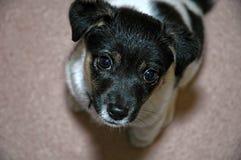 Cão preto e branco de Jack Russel Terrier que olha acima Fotos de Stock