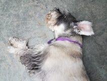 Cão preto e branco do schnauzer que dorme no assoalho do cimento com colar roxo fotos de stock