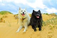 Cão preto e branco nas dunas Imagem de Stock
