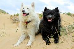 Cão preto e branco nas dunas Foto de Stock