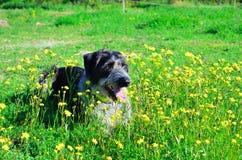 Cão preto e branco nas flores Fotografia de Stock