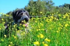 Cão preto e branco nas flores Imagens de Stock Royalty Free