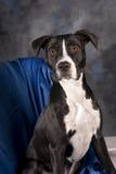 Cão preto e branco no azul Imagem de Stock