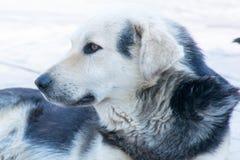 Cão preto e branco no humor triste Imagens de Stock