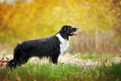Cão preto e branco novo de border collie fotos de stock