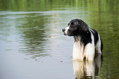 Cão preto e branco novo que está no rio Fotos de Stock