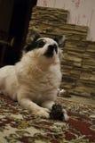 Cão preto e branco pequeno foto de stock royalty free