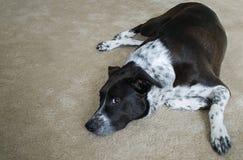 Cão preto e branco que descansa em um tapete Fotos de Stock