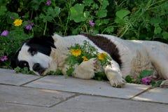 Cão preto e branco que descansa na grama imagens de stock royalty free