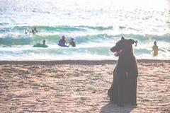 Cão preto em Sandy Beach Fotos de Stock Royalty Free