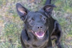 Cão preto feliz com um cão misturado do sorriso foto de stock royalty free