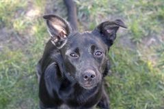 Cão preto feliz com um cão misturado do sorriso foto de stock