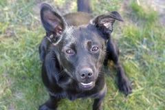Cão preto feliz com um cão misturado do sorriso imagem de stock