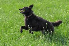 Cão preto feliz que carying uma vara Imagem de Stock