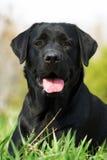 Cão preto Labrador Imagens de Stock