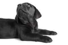 Cão preto Labrador do filhote de cachorro Imagens de Stock Royalty Free