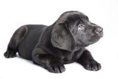 Cão preto Labrador do filhote de cachorro Fotografia de Stock Royalty Free
