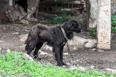 Cão preto maltratado, triste e afrouxando o cabelo fotografia de stock