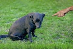 Cão preto mau, empurrando pelo proprietário com dedo que aponta nele fotografia de stock royalty free