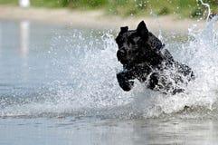 Cão preto na água fotografia de stock