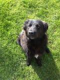 Cão preto na grama fotografia de stock royalty free