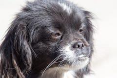 Cão preto na natureza Imagens de Stock
