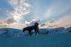 Cão preto na parede Imagem de Stock