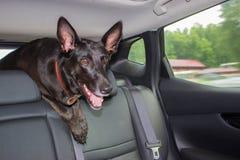 Cão preto no carro imagens de stock