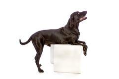 Cão preto no lado do perfil Imagem de Stock Royalty Free