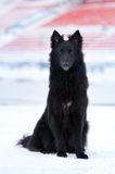 Cão preto novo Fotos de Stock Royalty Free