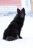 Cão preto novo Imagens de Stock Royalty Free