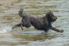Cão preto peludo que corre na água Imagem de Stock