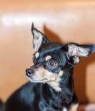 Cão preto pequeno Imagem de Stock