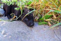 Cão preto pequeno Imagem de Stock Royalty Free