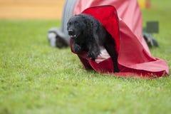 Cão preto que corre com velocidade máxima fora do túnel vermelho, competindo em uma competição da agilidade do ar livre Imagens de Stock