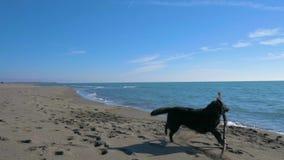 Cão preto que joga com uma vara de madeira na praia perto da linha de mar video estoque