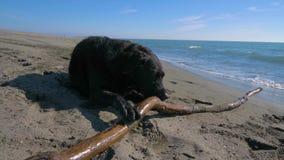 Cão preto que morde uma vara de madeira na praia video estoque